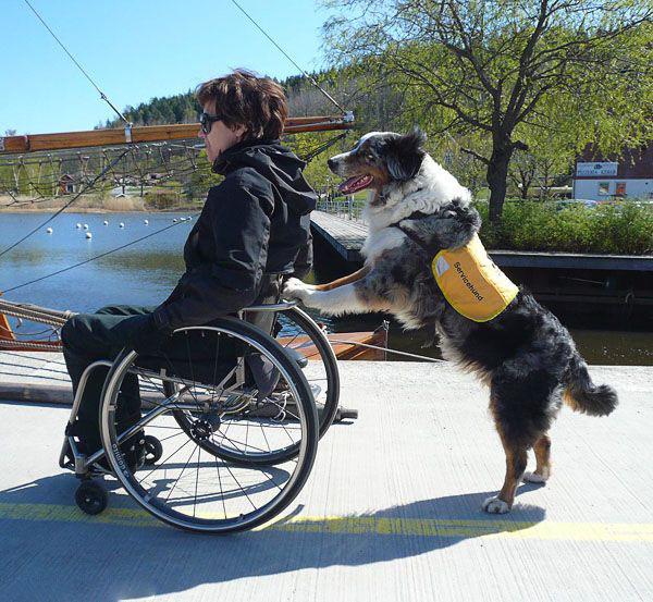 Собака-помічник для людини на колясці